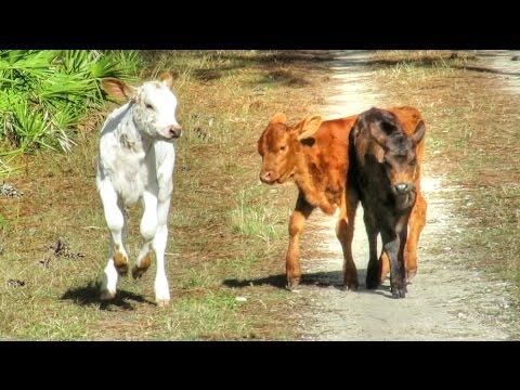 Free Range Wild Heritage Cows In Florida
