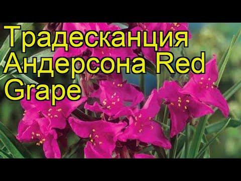 Традесканция андерсона Ред Грэйп. Краткий обзор, описание характеристик tradescantia Red Grape