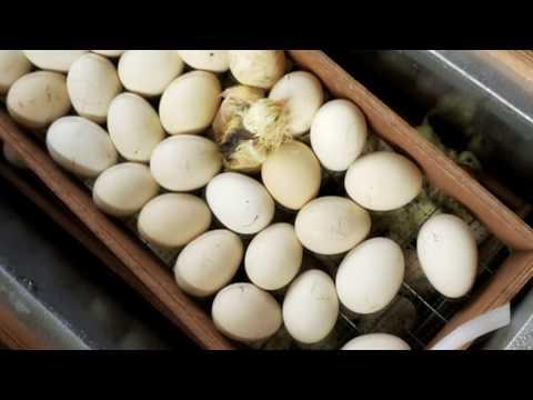 Сколько дней можно отбирать яйцо на инкубацию? ч.2 Итог инкубации Пушкинской породы.