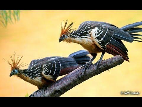 طيور استوائية: طائر هواتزين (Hoatzin) أو الدراج كانجي (Canje Pheasant)