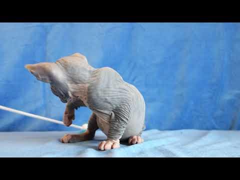 ETEREO Канадский сфинкс голубой биколор - кот