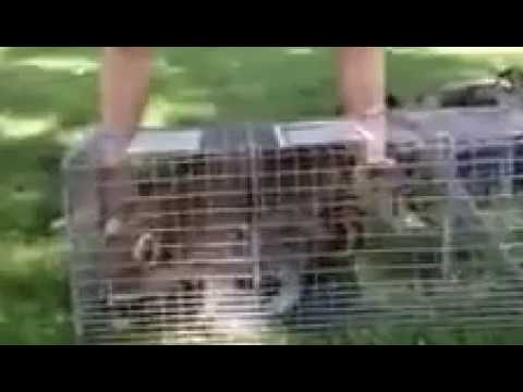 Trapper Chance getting nuisance raccoon ready for relocation