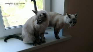 Тайский кот Зонтик Золотой в кругу семьи (Шони, Юрата и Дезире, Алис и Анжель)