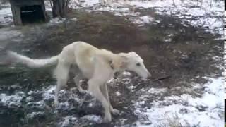Охотничие собаки