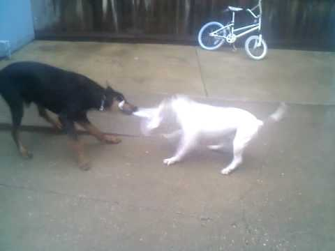 pitbull vs doberman tug of war - YouTube