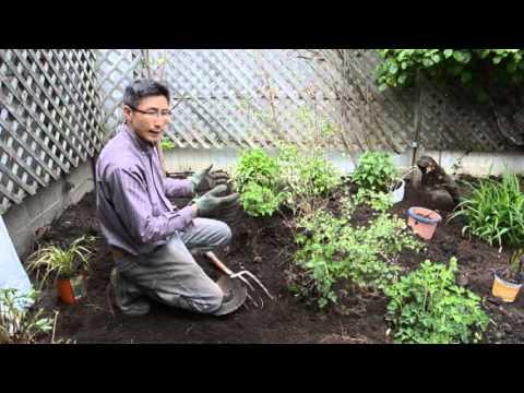 planter un rejet de lilas