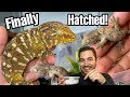 THEY HATCHED JUST IN TIME! |Rhacodactylus leachianus gecko babies!