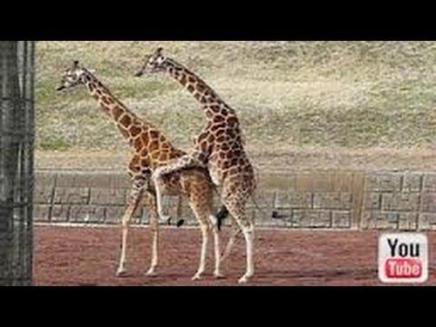Giraffe Mating FAIL Is Wicked Embarrassing - YouTube  Giraffe Mating ...