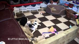 Little Rascals Uk Breeders New Litter Of French Bulldog Little Girl - Puppies For Sale 2016