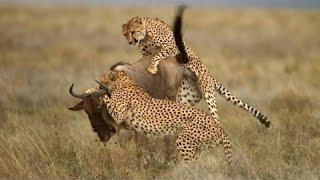 Cuộc đi săn của những con mèo lớn - HD Thuyết minh tiếng việt