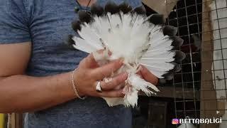 Süper bir Güvercin Ukrayna Odessa #güvercin #güvercinler