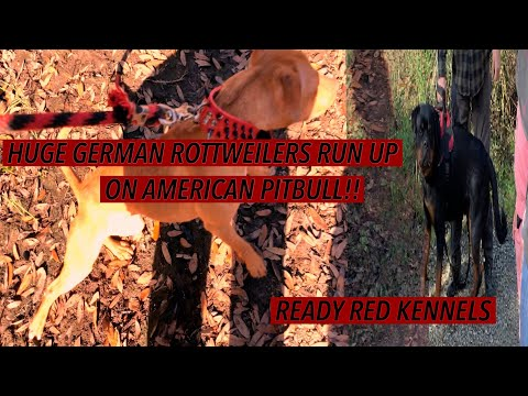 HUGE GERMAN ROTTWEILERS VS AUTHENTIC AMERICAN PITBULL AT LOUISIANA STATE PARK PART 4