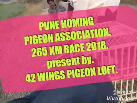 Pune homing pigeon association. 265 km race 2018. jalna to pune.