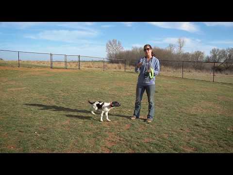 Collar Conditioning To Recall   Upland Bird Dog Training