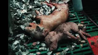 1 Min UK Pig Farms 2016