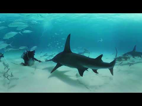 VIDEO 360: Nadando entre tiburones martillo en las Bahamas - BBC Earth