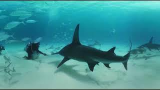 VIDEO 360: Nadando entre tiburones martillo en las Bahamas - BBC Earth