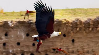 Eagle Plucks Prey in Flight | A Perfect Planet | BBC Earth
