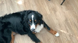Saturday's with a Bernese mountain dog