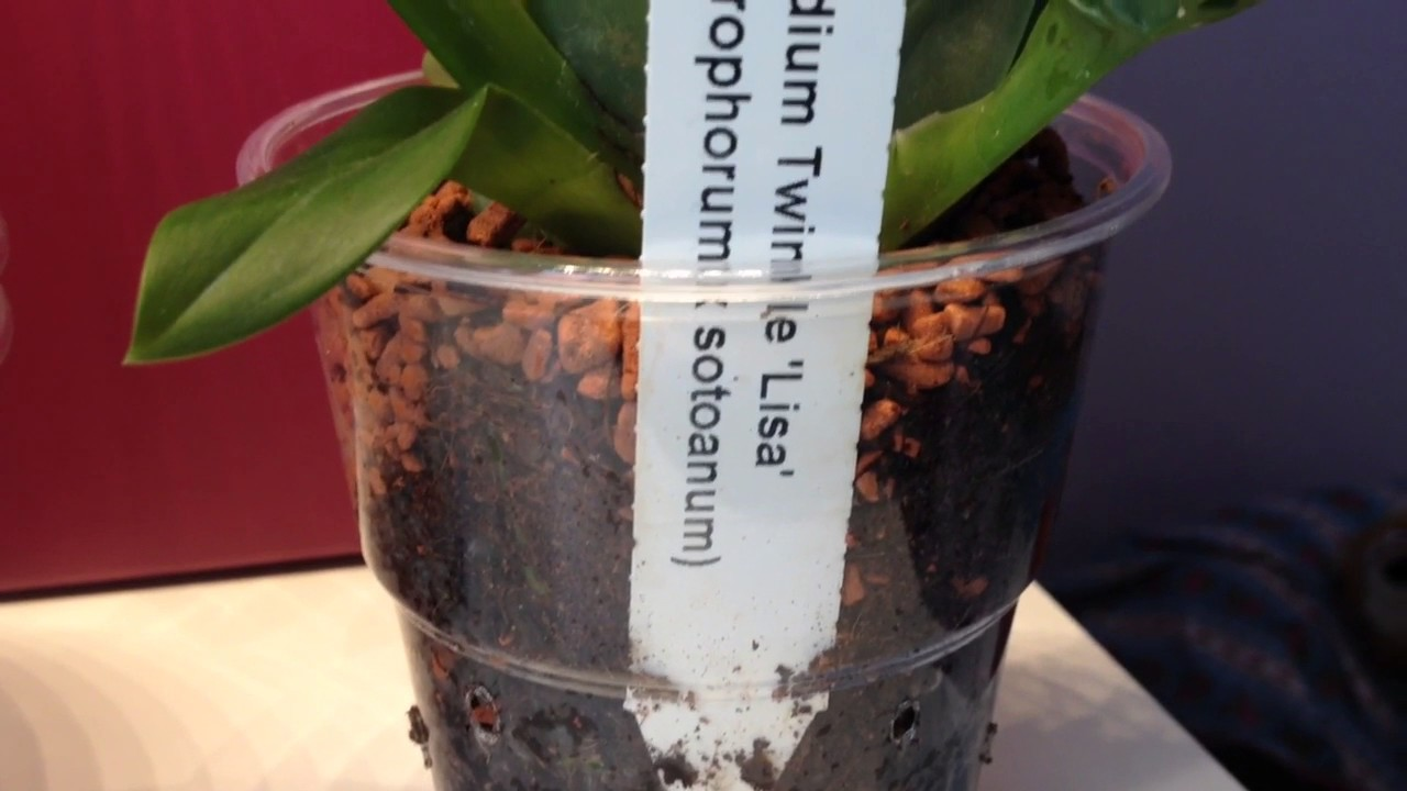 Oncidium Twinkle Im Kokos Seramis Substrat Das Experiment Youtube