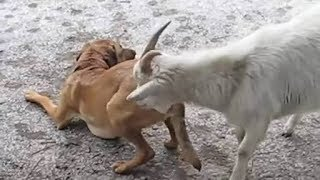 Goat 🐐 mating with dog 🐕  | Biggest Animals Tv