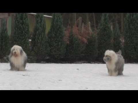Old English Sheepdogs playing in the snow