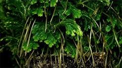 Selaginella martensii / Moosfarn / Martens's Spike Moss