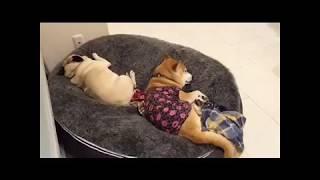 Лежак для собаки pet lounge размер L