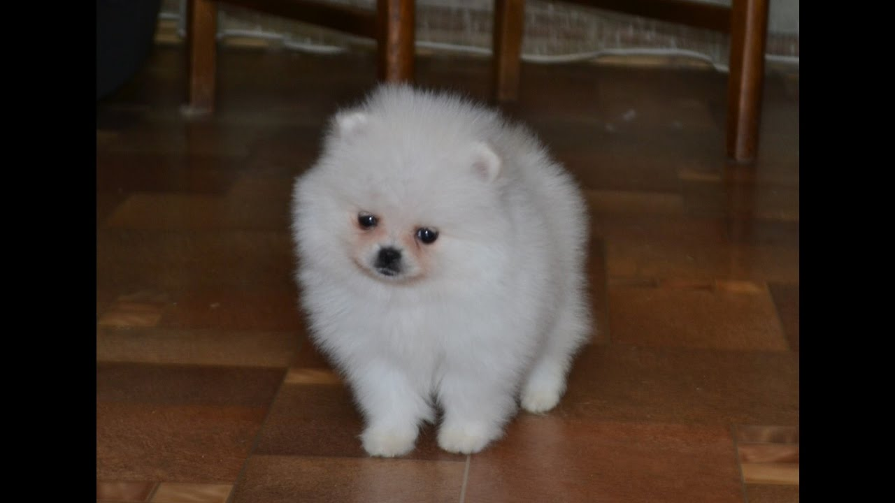White teacup pomeranian puppy for sale