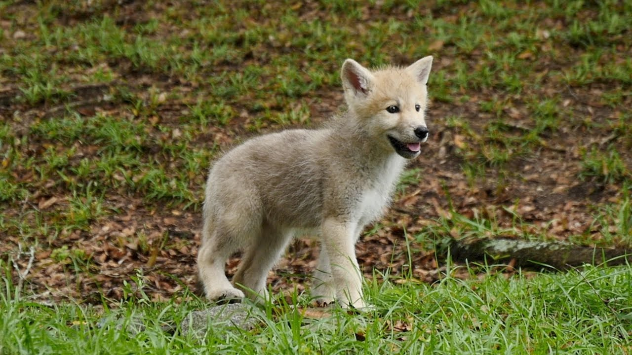 Arctic Wolf Puppies Go Exploring For The First Time - YouTube