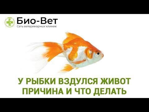 У рыбки вздулся живот 🐠/ Причины и Что Делать / Советы Ветеринара Био-Вет