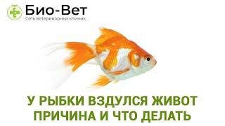 У рыбки вздулся живот причина и что делать. Советы специалиста