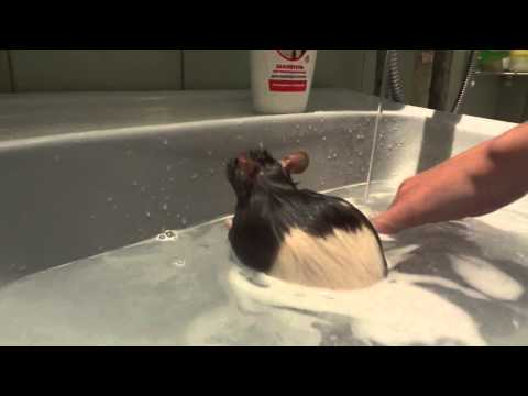 Крыса моется в ванной!