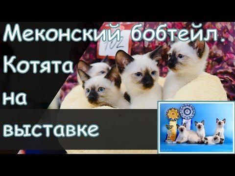 Котята меконгского бобтейла на выставке кошек