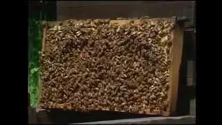 пчелы видео(пасека в германии., 2015-04-01T23:02:21.000Z)