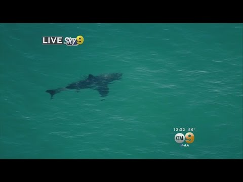 Shark Spotted 200 Yards Off Shore In Manhattan Beach Area