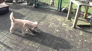 Cairn Terrier Welpen Vom Farbenspiel 17.1.2015/ Cairn Terrier Puppies
