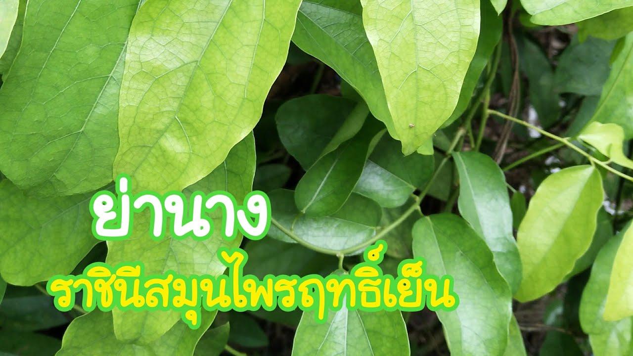 ใบย่านาง ราชินีสมุนไพรฤทธิ์เย็น สมุนไพรไทย สรรพคุณรักษาโรค แก้ร้อนใน