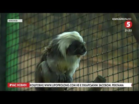 5 канал: Малюк рідкісного виду мавп вижив у зоопарку Миколаєва: як піклуються про дитинча
