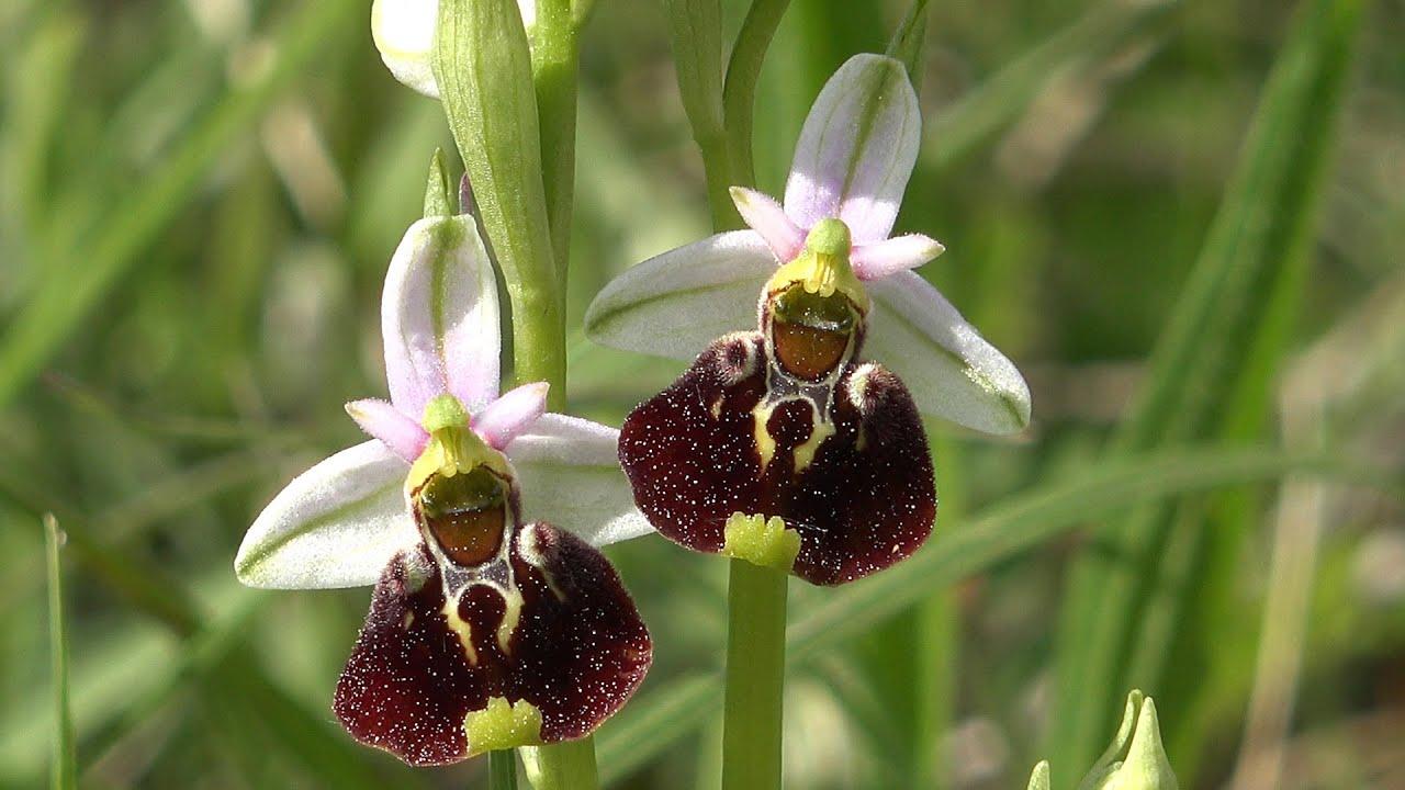 Fleurs Et Orchidees Sur Les Collines De Rosenwiller Mai 2015 Youtube
