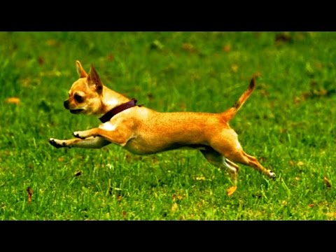 Chihuahua Running (Slow Motion)