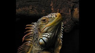 Green Iguanas Documentary  Hotel Iguana (re-uploaded and sound is fixed)