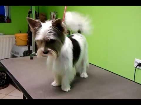 Rico Yorkshire Terrier Biewer Salon Psich Fryzur Pom Pon Hotel