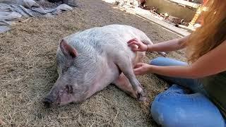 Piglet introductions part II