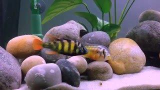 Хаплохромис толстокожий CH 44 Haplochromis CH 44