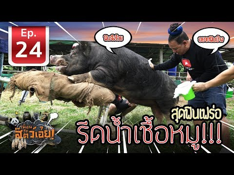 EP.24 - รีดน้ำเชื้อหมู!!! สุด ฟิน เฟร่อ (Artificial insemination of pork)