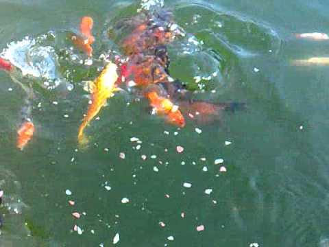 Laghetto carpa koi e pesci rossi youtube for Riproduzione pesci rossi in laghetto