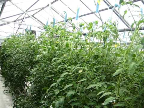 Tomato plants grown in Growstones and Rockwool 30 hours without irrigation