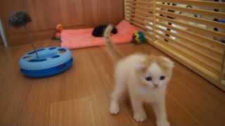 Питомник шотландских кошек Каледония Кэт