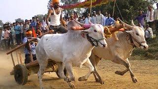Khillari bulls outstanding run in bullock cart race